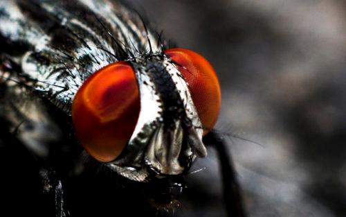 Fluga med stora röda ögon